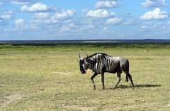 African Antelope Wildebeest Royalty Free Stock Photography