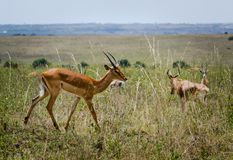 African antelope. Wildlife savanna in Africa stock image