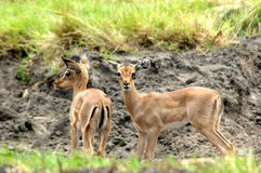 African antelopes Stock Images