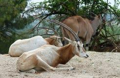 African antelopes Stock Photos