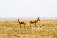 African antelopes in Serengeti National Park Stock Photo