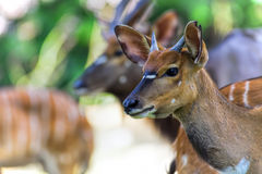 African Antelopes Royalty Free Stock Image