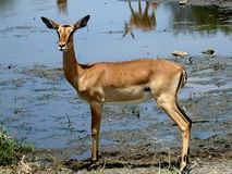 African antilope. An African antilope near a waterhole in Africa Royalty Free Stock Image