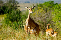 African antilope. Herd of african antilope kenya Stock Photo