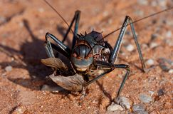 African Armoured Ground Cricket Stock Image