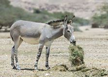 Somali wild ass Stock Image