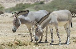 African asses  in Israeli nature reserve Stock Image