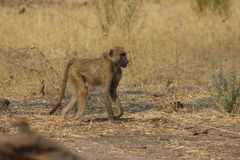 African Baboon Royalty Free Stock Images