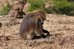 African baboon Stock Image
