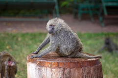 African Baboon Monkey. In national park royalty free stock image