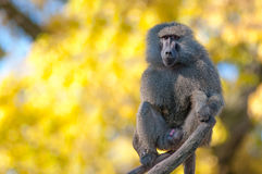 African baboon monkey. Portrait fo african baboon monkey royalty free stock photography