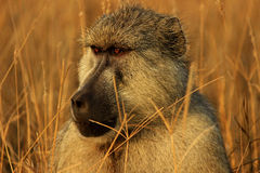 African baboon monkey. In Tsavo East National Park, Kenya Royalty Free Stock Photo