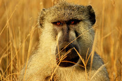African baboon monkey. In Tsavo East National Park, Kenya Stock Photography