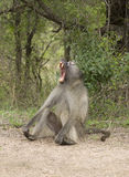 African baboon yawning Stock Images