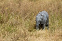 African Baby Elephant Royalty Free Stock Images