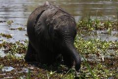African baby elephant Stock Photo