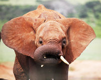 African baby elephant flapping Royalty Free Stock Photo