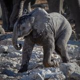 Drinking baby elephant. An African baby elephant just drank at a water hole in Etosha National Park Namibia stock images