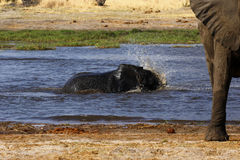 African baby elephant playing in water Royalty Free Stock Image