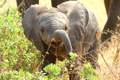 African Baby Elephant. In the Serengeti NP stock photos