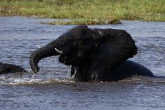 African baby elephants playing in water Stock Photography