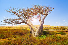 African Baobab. Photo of a typical african Baobab tree background Stock Image