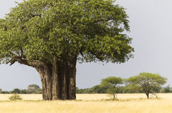 African Baobab. Tree with yellow grass, Tarangire National Park, Tanzania, East Africa royalty free stock photos