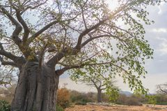 African baobab with dramatic sky. Angola. Nature Royalty Free Stock Photos