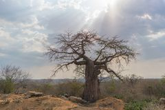 African baobab with dramatic sky. Angola. Nature Royalty Free Stock Photography