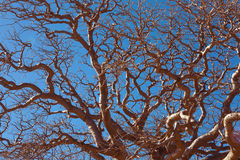 African baobab Stock Photos