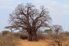 African Baobab Tree (Adansonia digitata). African Baobab (Adansonia digitata) tree in the tanzanian savannah royalty free stock photo