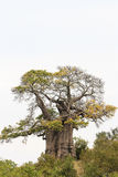 African Baobab Tree. (Adansonia digitata), southern Africa in the Kruger Park Stock Photos