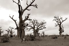 African Baobab tree on baobabs trees field Royalty Free Stock Images
