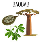 African baobab tree and fruit with seeds color icon emblem. With text on white background. Vector illustration of powerful tree with green leaves and seed royalty free illustration