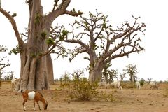 African Baobab tree with livestock eating Royalty Free Stock Photography