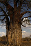 Huge African Baobab Tree Fruiting Stock Photography