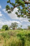 African baobab trees in between long grass against cloudy blue sky on field in rural Senegal, Africa.  Royalty Free Stock Image