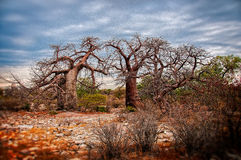 African Baobob Trees Royalty Free Stock Photography