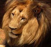 African Barbary Lion. Male African Barbary Lion in Africa Stock Photo