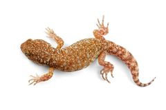 African barking gecko. An African common barking gecko (Ptenopus garrulus) on white Stock Images