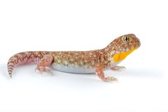 African barking gecko Royalty Free Stock Photos