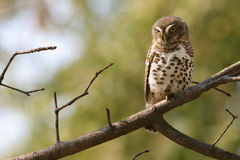 African barred-owl in Kruger Park, Sout Africa Stock Photos