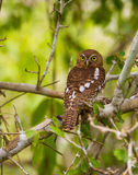 African Barred Owlet Royalty Free Stock Photos