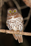 African barred owlet Royalty Free Stock Image