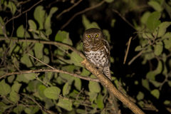 African Barred Owlet at night. African Barred Owlet (Glaucidium capense) at night, Botswana, 2015 Royalty Free Stock Photo