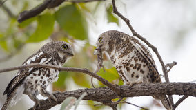 African barred owlets with a prey in Kruger National park Royalty Free Stock Photos