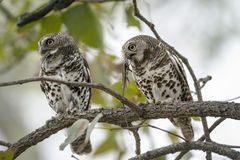African barred owlets with a prey in Kruger National park royalty free stock image