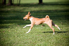 African basenji royalty free stock photo