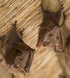 African bats. Two fruit bats (Epomophorus wahlbergi) under a straw roof, Okavango Delta, Botswana Royalty Free Stock Image