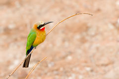 African Bee Eater at  Chobe River, Botswana Stock Image